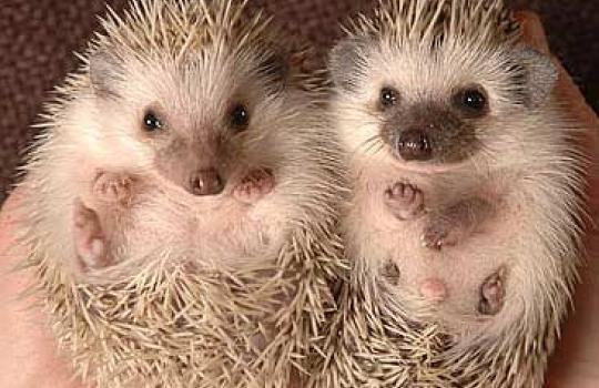 pygmy-hedgehogs